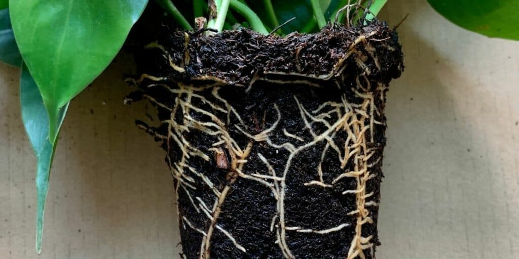 Root Rot is caused by Phytophthora